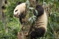 Panda -ChengDu Pandas Base, chine