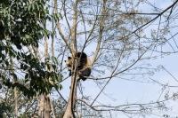 Panda -ChengDu Pandas Base, China