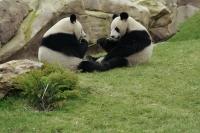 Panda géant, Beauval, France
