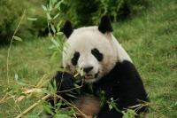 Pandas géants Beauval, France